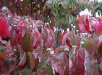 20141001-dogwood-in-fall