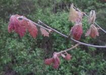 20150425-oak-leaf-in-spring