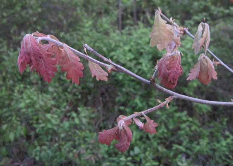 20150425-oak-leaf-in-spring