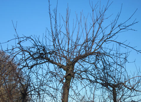 apple-tree-in-winter