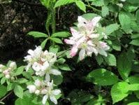 Spring-blackberry-blossom